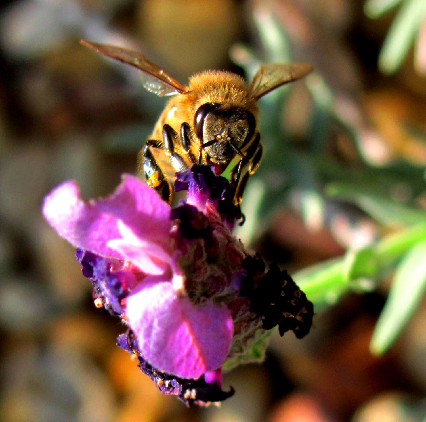 Bees and pollination of Biofuels
